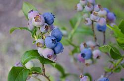 blueberries-1674385_960_720
