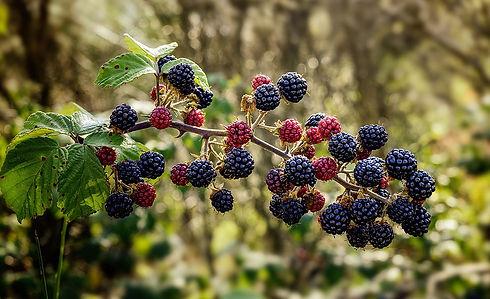 wild-blackberries.jpg