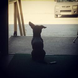 #guarddog  #gymdog #chiweenie