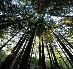 Forest Trees.jpg