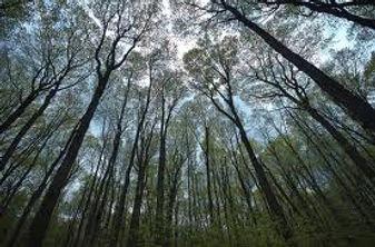 ForestTrees5.jpg