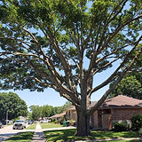Tree-Triming-Shaping-5-20.jpg