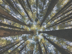 Looking up into the treetops among many tall sugar pine (Pinus lambertiana) trees in forest_edited_e