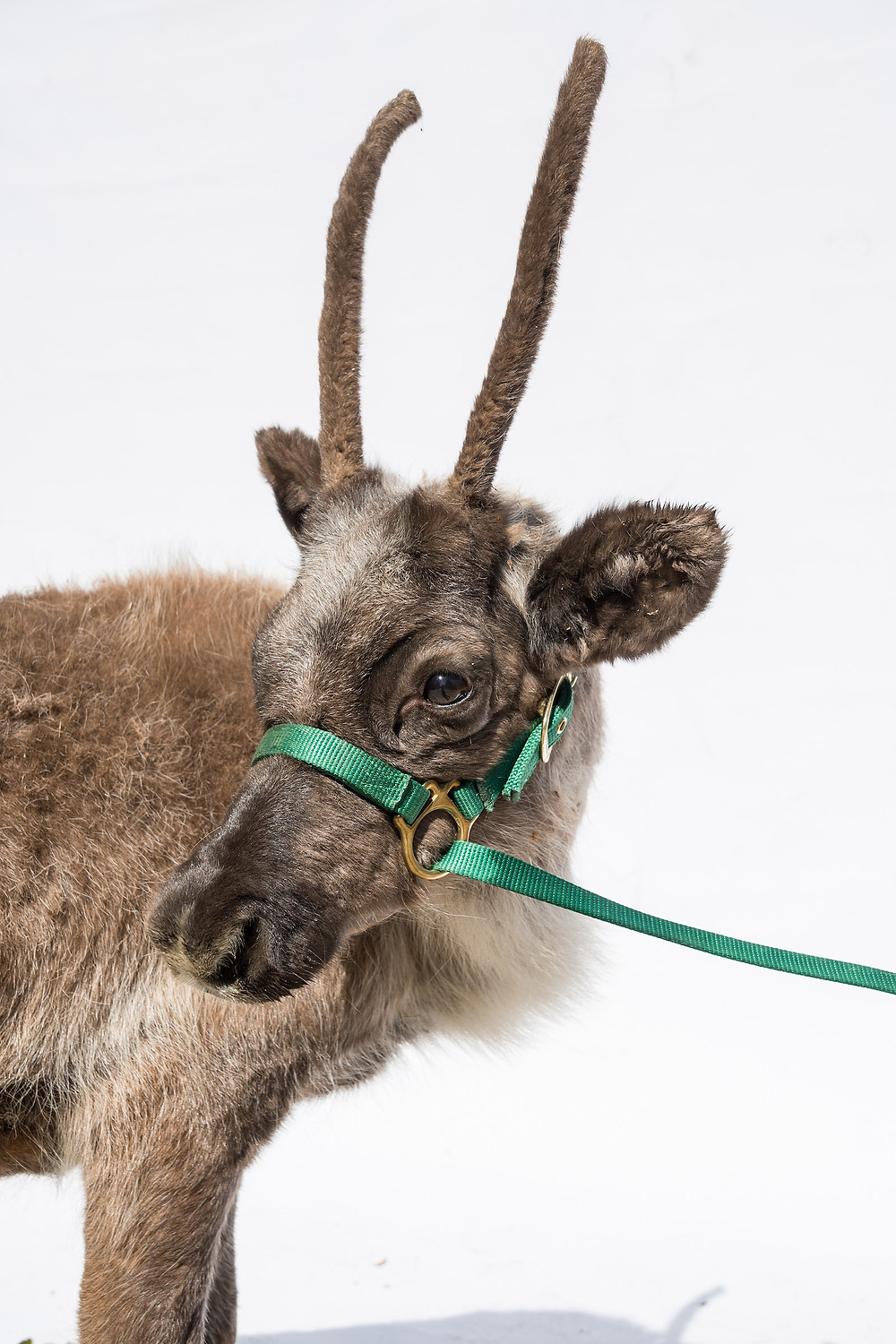 Los Angeles Zoo's REINDEER ROMP, the only opportunity to see real reindeer in Los Angeles, is featured daily from Friday, November 18, 2016, through Sunday, January 8, 2017 (except Christmas Day) PHOTO CREDIT:  Jamie Pham