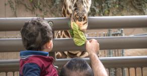 Giraffe Feedings at The LA Zoo