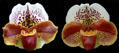 HP-96 Paph. Tommy Egger