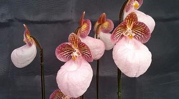 Species Paphiopedilums