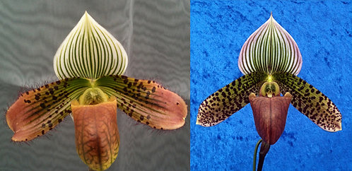 HP338 Paph. French Macabre