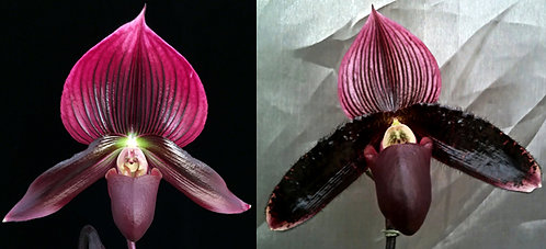 HP337 Paph. President Fred x Macabre