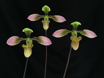 HP259 Paph. appletonianum