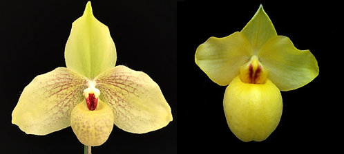 HP287 Paph. Golden Palace