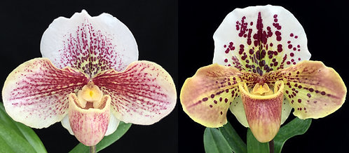 HP386 Paph In-Charm Winston Pink x Blockbuster