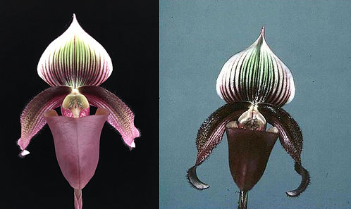 HP209 Paph. superbiens var. curtisii