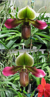 HP-204 Paph. Shirley Amundson