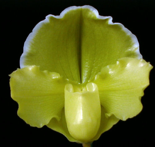 HD02 Paph. Olympic Emerald 'Hillsview' AM/AOS