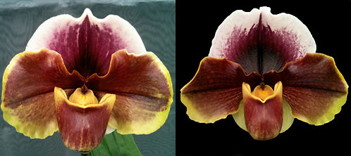 HP210 Paph. Red Bear