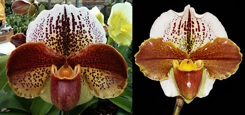 HP376 Paph. Chinook Eagle