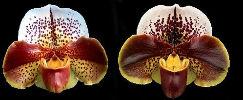HP-94 Paph. Don's Lily