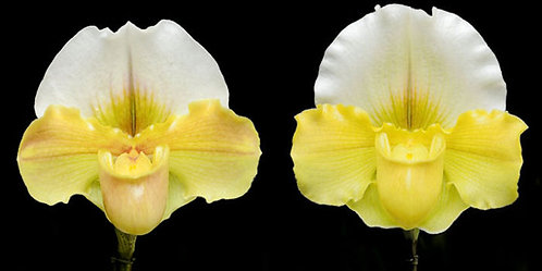 HP92 Paph. Olympic Moon