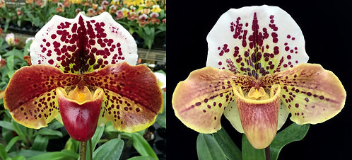 HP379 Paph. Thunder Doll x Blockbuster
