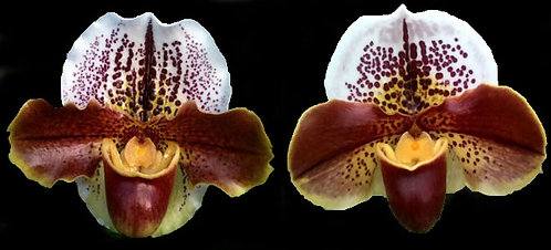 HP-97 Paph. Buddy Fun Mark