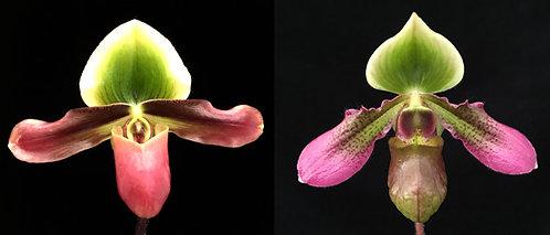HP520 Paph. Xanthophyllum