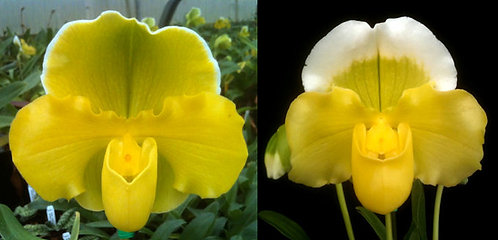 HP-281 Paph. Yellow Stone