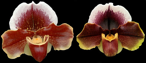 HP-225 Paph. Red Roan