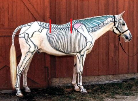 Skelet paard tov ligging zadel
