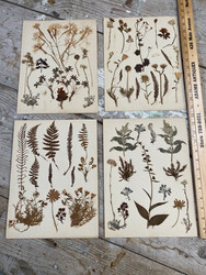 Antique French herbarium botanical specimens of real pressed ferns and plants circa 1910 $125 each