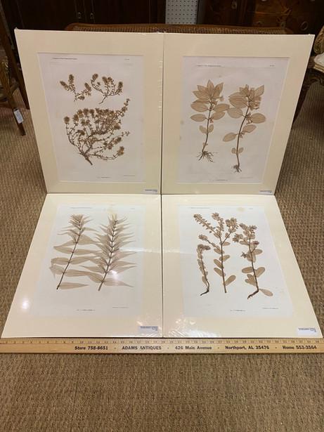 """Antique Austrian Nature printed plants Physiotypia Plantarum Austriacarum Der Naturselbstdruck...Der  20""""x25""""  $385 each"""