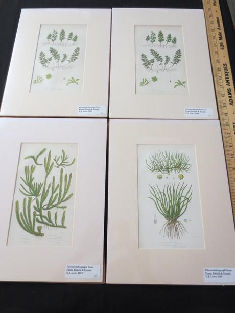 HCB381 Fern Print Series