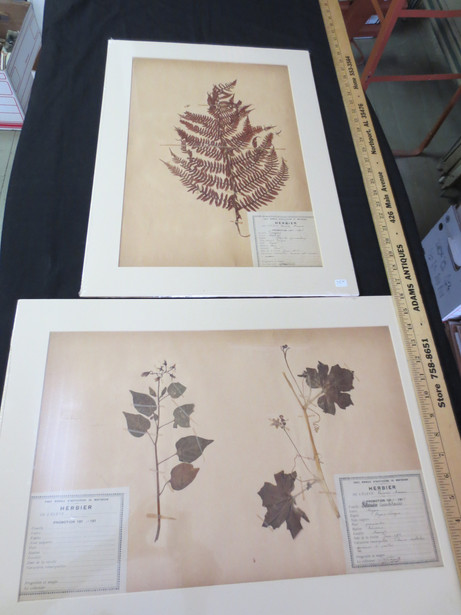 Vintage French Botanical Specimen Herbarium Page Pressed Plants circa 1918