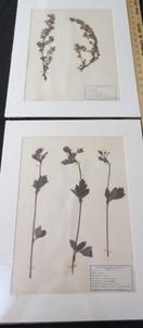 Vintage Swiss herbarium specimens from a collection assembled circa 1910 by Ecole D'Agriculture De Grangeneuve