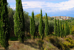 Cypress Trees and Volterra.