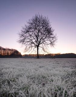 Winter Ash Tree