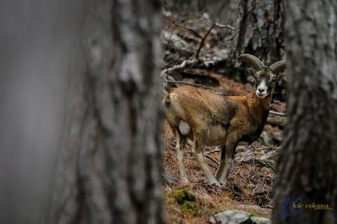 Jeune mouflon
