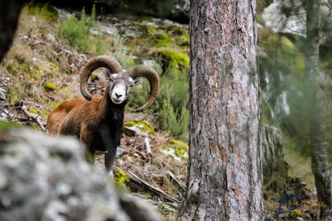 Beau mouflon