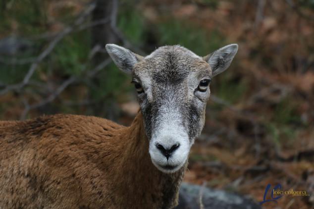 Mouflonne