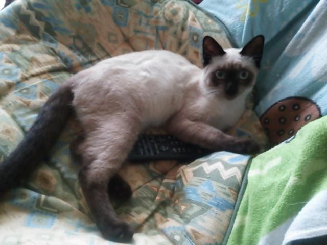 完全にシャムですが新たに飼い始めた野良猫です