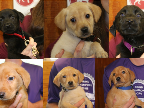 6 New British Lab Pups