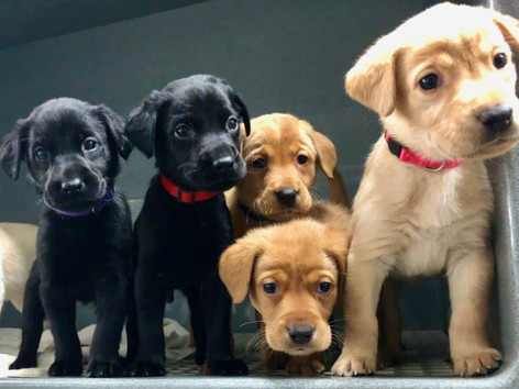 Top Tier K9 Foundation Dog®