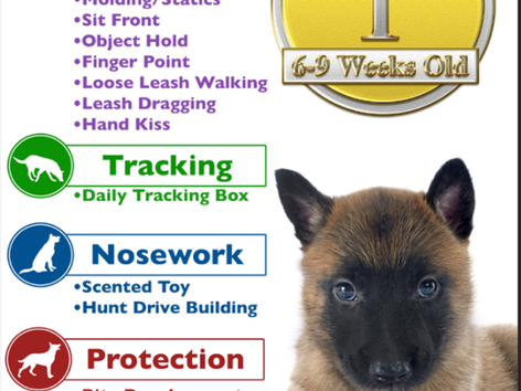 Amazing Malinois Puppies Enter Phase 3 of Top Tier K9 Imprinting Program