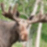 Moose_grande.webp