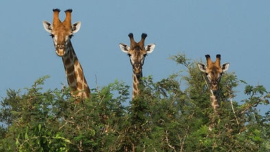 giraffe over bushes2.jpg