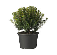 Myrtus communis microphylla.jpg