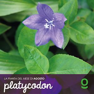 PIANTA DEL MESE platycodon-07.png