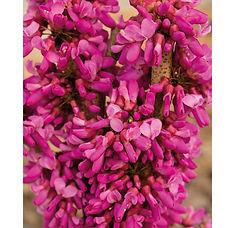 Cercis chinensis Avondale.jpg