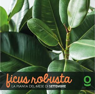 PIANTA DEL MESE ficus robusta-07.png