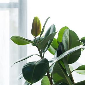 Come e perché scegliere il Ficus Robusta.